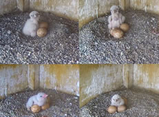 Name A Battersea Power Station Falcon Chick