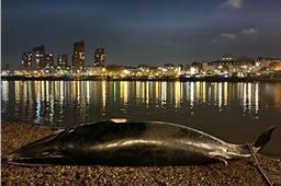 Dead Whale Washes Up At Battersea Bridge